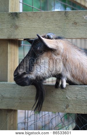 Kid Goat in Farm
