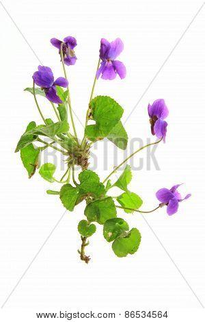 Violets (Viola)