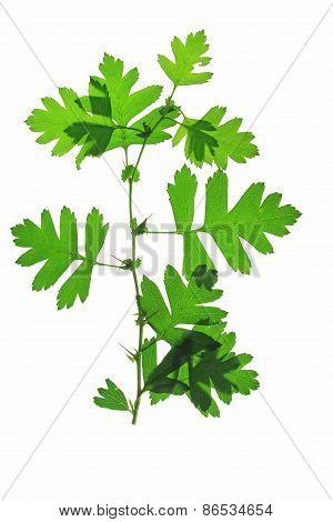 Hawthorn Leaves (Crataegus)