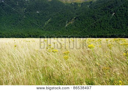 Golden grass interspersed with yellow ragwort flower swaying