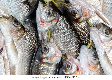Fresh Caught Fish Closeup