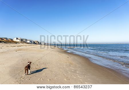 Bordeer Collie On Beach