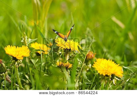 Meadow Of Yellow Dandelions And Butterfly