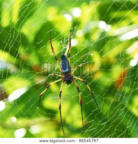 Giant wood spider - Nephila maculata / nephila pilipes, the Golden Orb Weaver or Banana Spider at Seychelles, Mahe.