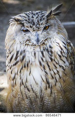 Spanish owl in a medieval fair raptors