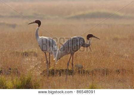 couple of sarus cranes walking in a field, Lumbini, Nepal