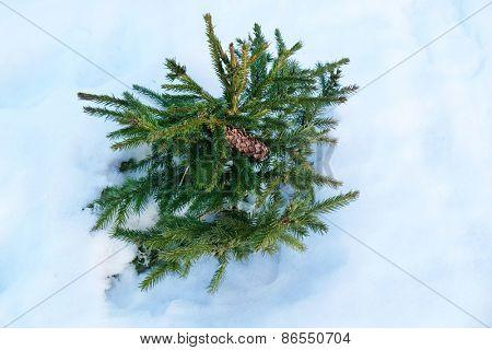 Winter spruce, closeup