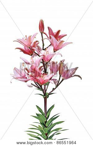 Flowers And Flower Buds Of A Bright Pink Lilies Isolated