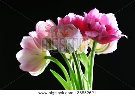 Fresh tulips on black background