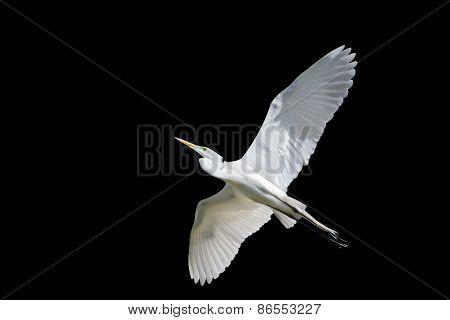 Giant Egret In Flight