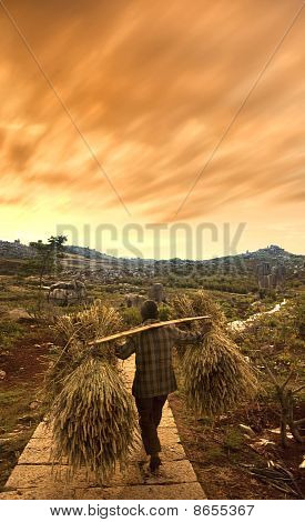 A Traditional Chinese Farmer Harvesting
