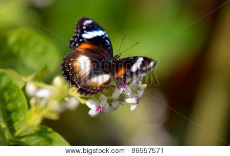 colorful butterfly feeding on a white flower in sunny summer garden