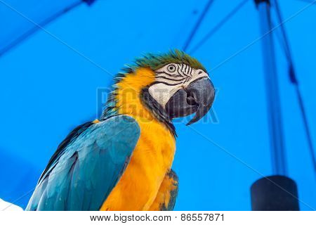 Blue-and-yellow Macaw Parrots