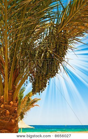 Date Palm With Green Unripe Dates And Blue Ocean.