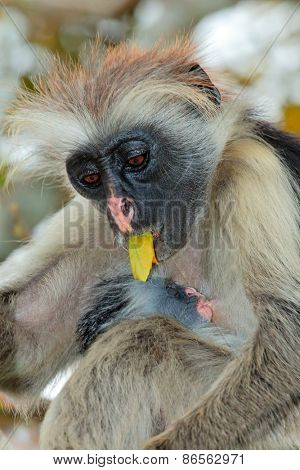 Zanzibar red colobus monkey (Procolobus kirkii) with baby, Jozani forest, Zanzibar