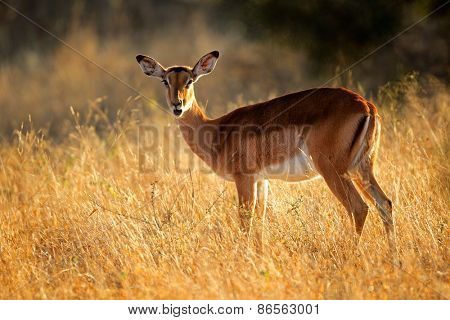 A female impala antelope (Aepyceros melampus) in early  morning light, South Africa
