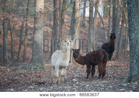 Three Lamas In The Woods