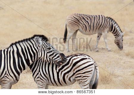 Burchell's Zebra With Foal, Equus Quagga Burchellii.