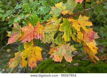 Close up on golden and colorful maple leaves on a twig.