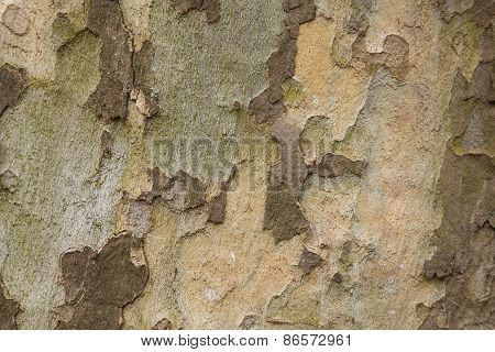 Closeup Of Plane Tree Trunk