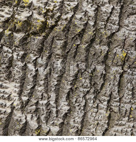 Closeup Of Bark Of White Poplar