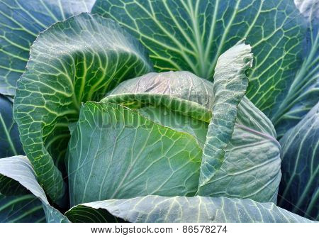 Fresh Cabbage In The Vegetable Garden