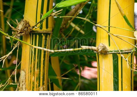 Bamboo Plant (Bambuseae)