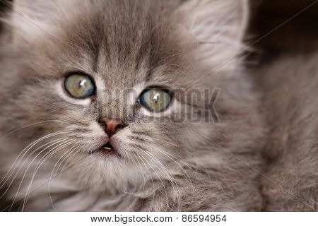 Beautiful Grey Kitten