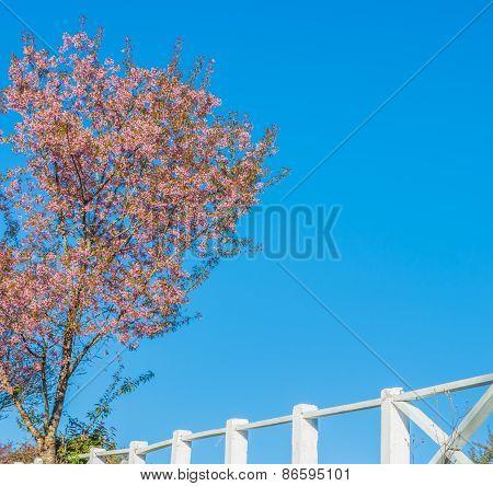 Wild Himalayan Cherry Flower(thailand's Sakura),chiang Mai Thailand.