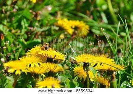 Dandelion Flowers With Bee