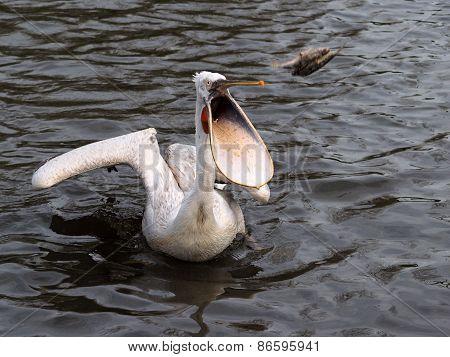 Dalmatian Pelican Eating