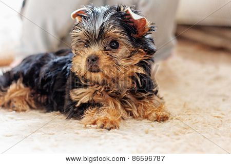 Yorkshire terrier puppy 2 months