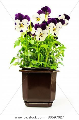 Two-colored Pansies In A Pot