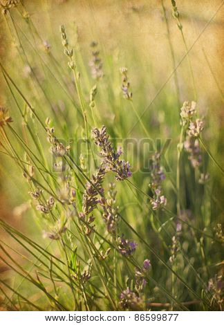 Blooming lavender on a field.    Photo in retro style.  Added paper texture. Very shallow depth of field. selective focus