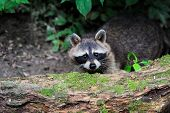 foto of raccoon  - Raccoon in the forest in the natural environment - JPG