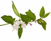 stock photo of honeysuckle  - Pink honeysuckle in blossom  - JPG