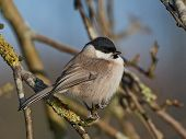 picture of tit  - Marsh Tit resting on a branch in its habitat - JPG