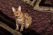 pic of bengal cat  - Cat Bengal breed - JPG
