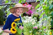 picture of sunflower  - Happy Elderly Woman with Brown Hat Holding Attractive Fresh Sunflowers at the Garden While Looking at the Camera - JPG