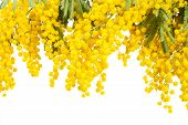 picture of mimosa  - Border of fresh french mimosa isolated on white background - JPG