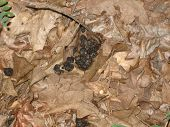 picture of scat  - Deer scat in a pile of leaves in the woods - JPG