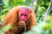 image of rainforest animal  - View of a Bald Uakari monkey in trees in the Amazon Rainforest near Iquitos Peru - JPG