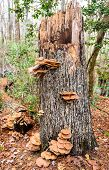 picture of rotten  - A rotten tree stump - JPG