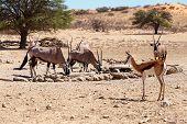 pic of antelope horn  - herd of Gemsbok Oryx gazella and springbok on waterholedominant Gemsbok antelope in the park Kgalagadi South Africa - JPG