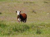 stock photo of cow head  - An Australian  blister head cow in a meadow in New South Wales in Australia - JPG