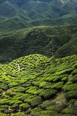 stock photo of cameron highland  - Tea plantation in the mountains of Cameron Highlands Malaysia - JPG