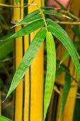 Постер, плакат: Bamboo Plant Bambuseae