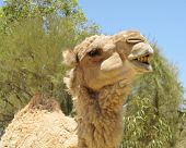 stock photo of hump  - The facial expression of a camel with one hump in the desert of Australia - JPG