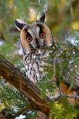 picture of snow owl  - long - JPG