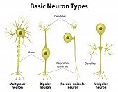 picture of nerve cell  - Basic neuron types - JPG